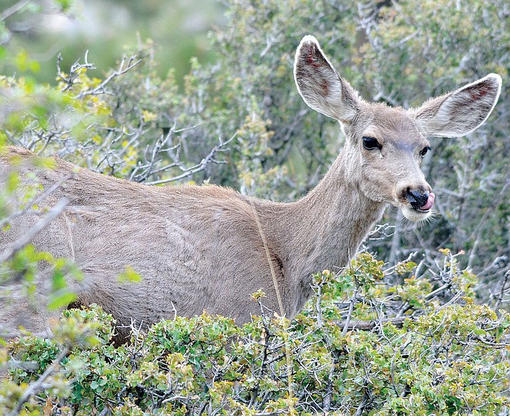 A doe was poached near Bagdad in late October, according to Arizona Game and Fish Department officials.