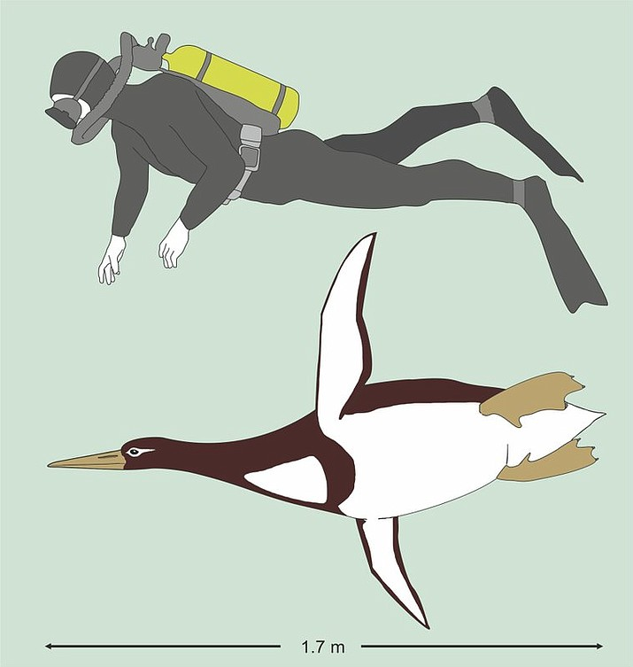 This illustration provided by Gerald Mayr shows the sizes of an ancient giant penguin Kumimanu biceae and a human being. On Tuesday, Dec. 19, 2017, researchers announced their find of fossils from approximately 60-55 million years ago, discovered in New Zealand, that put the creature at about 5 feet, 10 inches (1.77 meters) long when swimming, and 223 pounds (101 kilograms). (Gerald Mayr/Senckenberg Research Institute via AP)