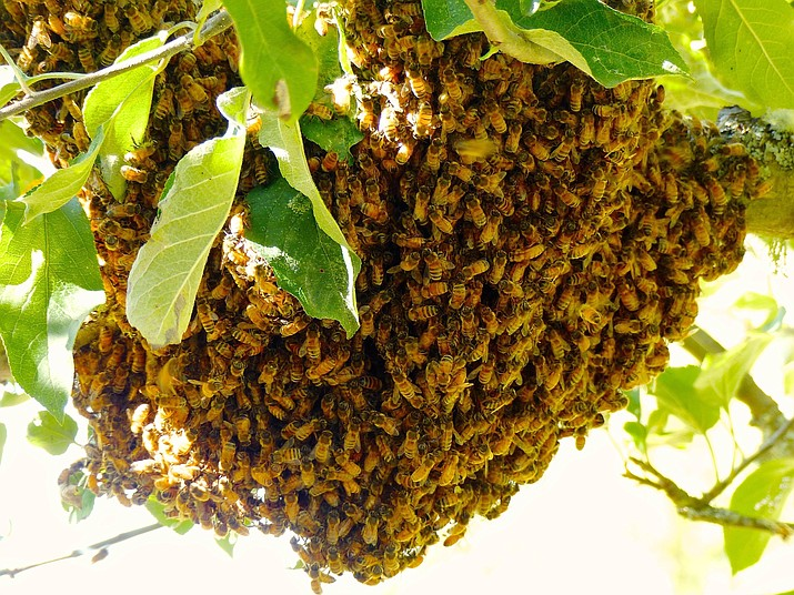 A honeybee swarm cluster gathers on an apple tree near Langley, Wash. Honeybees generally swarm a short distance and then hang out for a short time on tree limbs, stop signs, the sides of houses or perhaps in playgrounds. They can be recovered and installed in new hives if done quickly as was the case with this swarm cluster. (Dean Fosdick via AP)