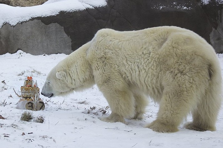 This photo provided by the Philadelphia Zoo shows Coldilocks, the oldest polar bear in the U.S., at 37. The zoo says they celebrated her birthday Thursday, Dec. 14, 2017, with a cake made of peanut butter, honey, raisins and fish. (Philadelphia Zoo via AP)