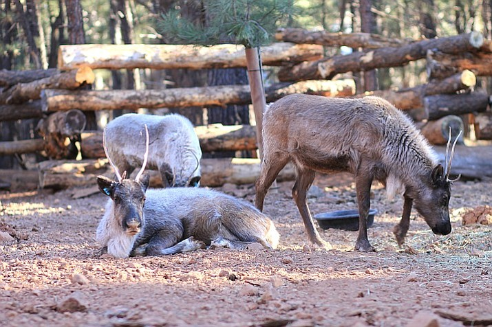 Three of the park's five reindeer are already on display in their new home.