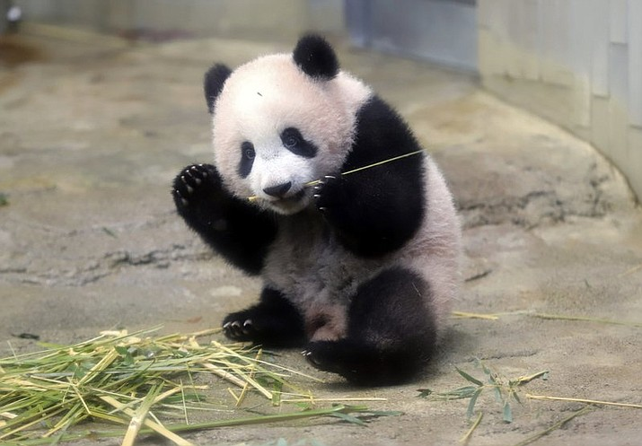 Female giant panda cub Xiang Xiang eats bamboo during a press preview at the Ueno Zoological gardens in Tokyo, Monday, Dec. 18, 2017. A baby panda made a special appearance Monday before Tokyo's governor, a group of local schoolchildren and the media one day ahead of its official public debut. Xiang Xiang, a 6-month-old female giant panda, will debut Tuesday in a limited public viewing for avid fans who obtained tickets through a highly competitive lottery process.(Yoshikazu Tsuno/Pool Photo via AP)
