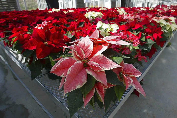 FILE - This file photo shows hundreds of experimental poinsettias in colors of pink, red, white and even polka dot patterns, fill the University of Maryland Research Greenhouse Complex in College Park, Md. Poinsettias are not nearly as poisonous as a persistent myth says.  (AP Photo/Matt Houston)