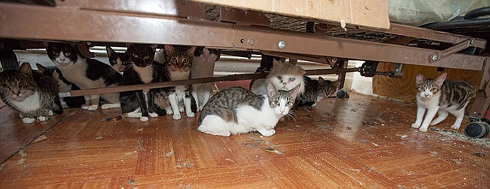 Cats in a hoarder's home hide from a visitor. (ASPCA/Courtesy)