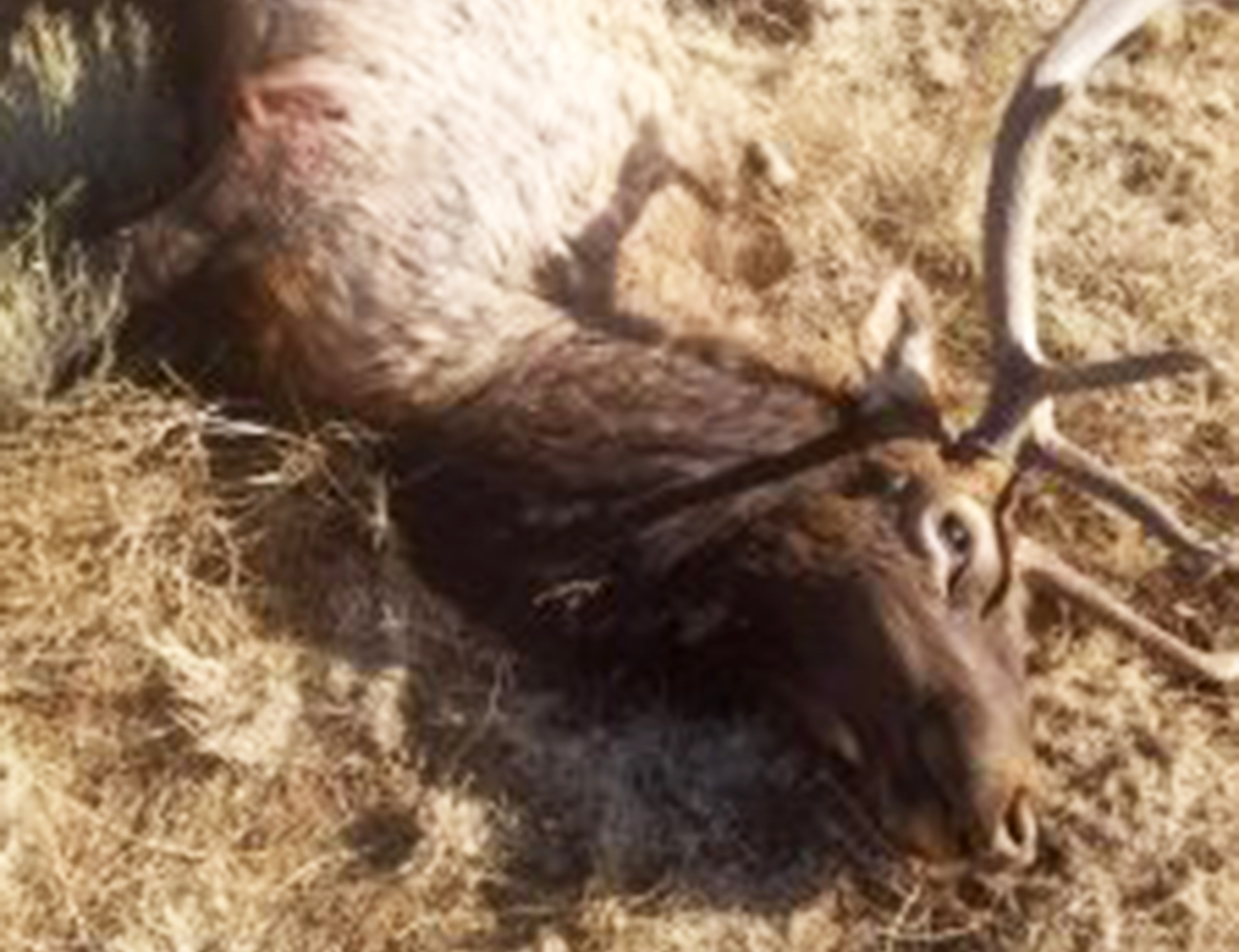 Another elk poached this time northwest of williams for Az game and fish draw results 2017