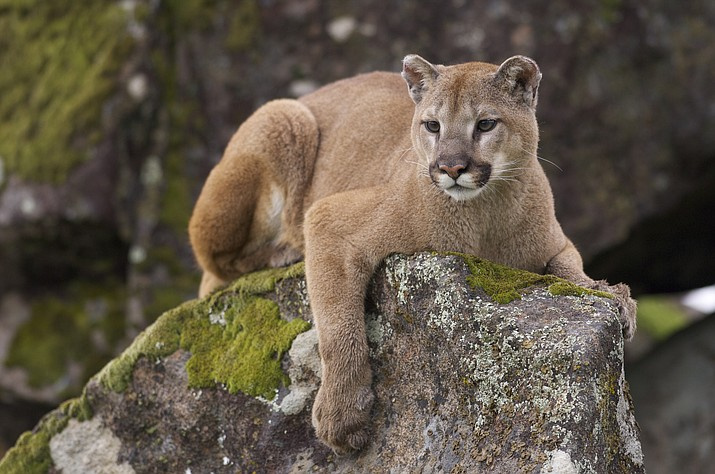 A man with a Utah hunting tag shot a cougar much like that pictured above and then stuffed it in his luggage before boarding a flight home. (Adobe stock image)