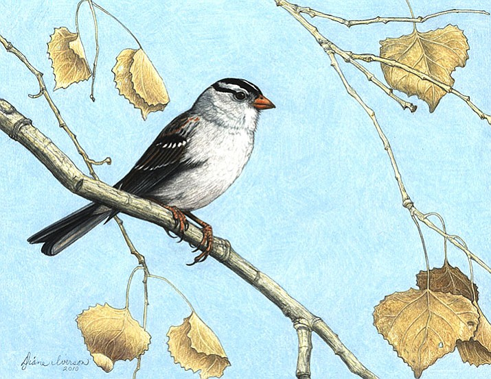 Drawing of a White Crowned Sparrow. (Courtesy image)