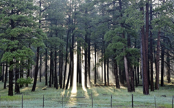 Sun shines through the mist in a stand of Ponderosa pines in Coconino National Forest. Managers are accelerating a program to thin 20,000 acres of the tress this year to reduce wildfire risks.