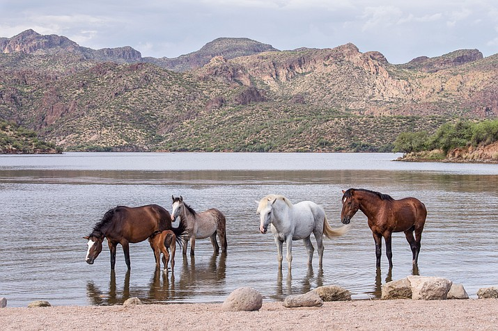 Part of the herd of Saguaro Lake Wild Horses. Arizona records indicate the herd has lived in the same area since about 1890, making them unique among other herds across the country.