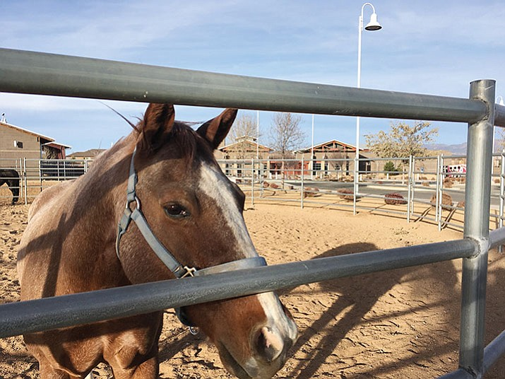 Arizona Agribusiness & Equine Center which is one of the highest rated of the charter schools in Arizona. One of the school's horses which allow the students to learn hands on as well as in the classroom. (Matthew Van Doren/Courier)