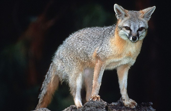 Rabies activity in Gray Fox populations has quadrupled in the last year according to the Arizona Department of Health Services.