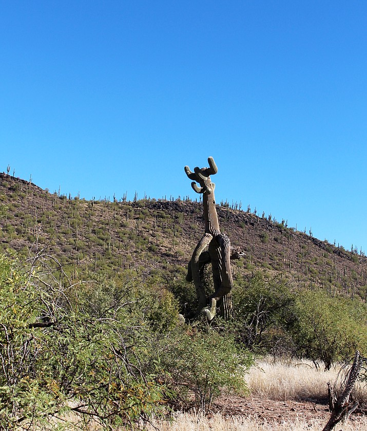 A saguaro cactus reaches its many arms to the sky. Stan Bindell/NHO