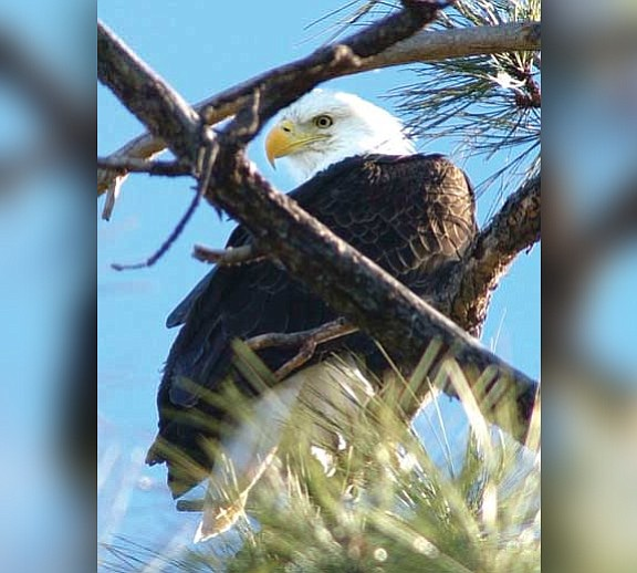 A bald eagle sits in a pine tree above Lynx Lake (File photo by Les Stukenberg)