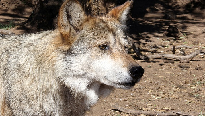 State Briefs | Endangered Mexican gray wolf found dead in Arizona
