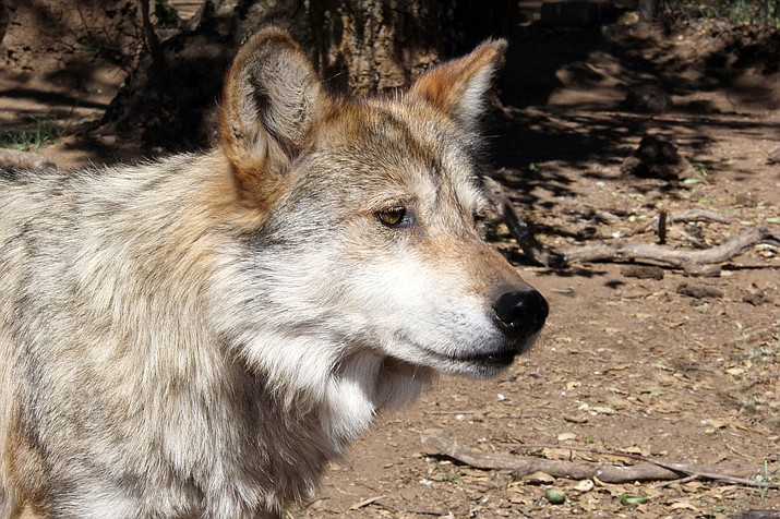 A Mexican gray wolf. According to the most recent survey, an estimated 113 wolves roam parts of Arizona and New Mexico.