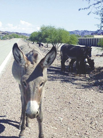 Wild burros line the side of a road in Mohave County in this file photo.