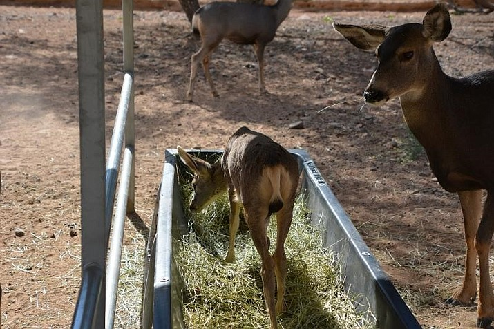Brandi happily munches on food in the trough while Stormy is shocked by the youngster's lack of table manners. (Courtesy Photo)