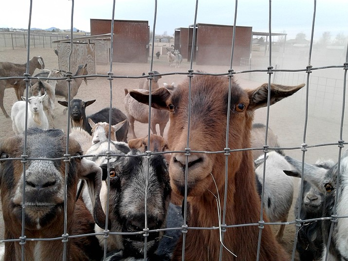 These goats at the Circle L Ranch Animal Rescue and Sanctuary found themselves out of one home and into another as part of the Ranch property was sold late last year. They are available for adoption. (Courtesy)