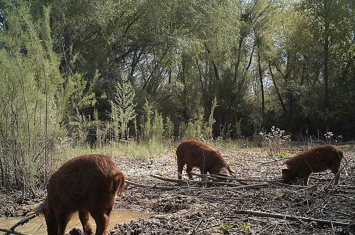 The U.S. Department of Agriculture conducted an extermination of feral pigs at Havasu National Wildlife Refuge in February 2017. According to U.S. Fish and Wildlife officials, the pigs are an invasive species who pose a threat to human health and native wildlife habitats. Sharpshooters will soon return to the refuge for round 2 of the extermination. (Courtesy photo via Today's News-Herald)