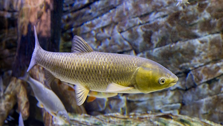 Fish that clean Phoenix's canals are gorging themselves