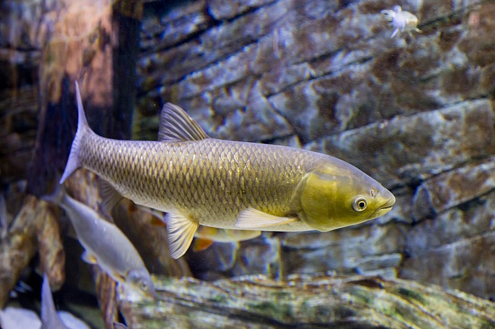 White amur fish, like the one above, are usually 30 inches long, however, the ones in the Phoenix canals are up to 15 inches longer.