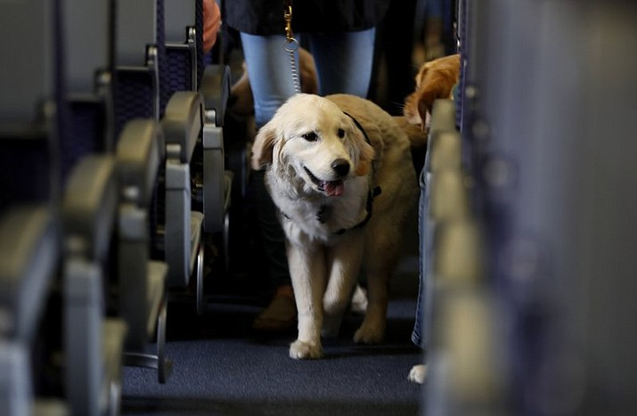 A service dog strolls through the aisle inside a United Airlines plane at Newark Liberty International Airport while taking part in a training exercise, in Newark, N.J. Delta Air Lines says for safety reasons it will require owners of service and support animals to provide more information before their animal can fly in the passenger cabin, including an assurance that it's trained to behave itself. (AP Photo/Julio Cortez, File)
