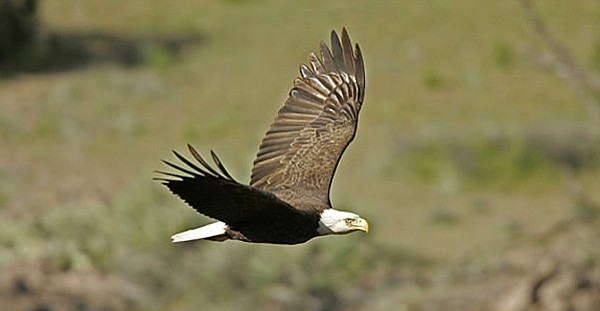 The bald eagle in Arizona has experienced a large population increase since the species was listed under the Endangered Species Act in 1978.  (Photo by Bruce Taubert/AZGFD)
