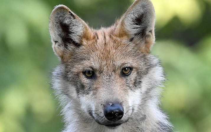 Names for any new Mexican wolf pups recorded by AZGFD's annual survey will be announced online and in press materials in late February.