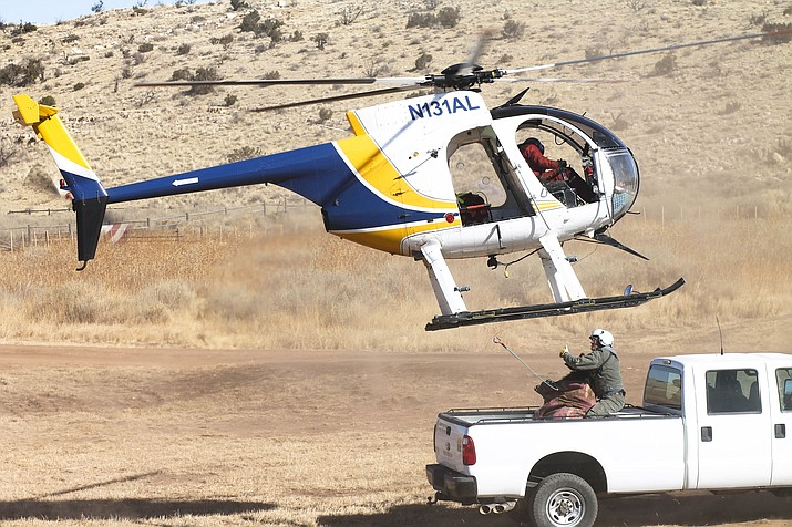 Arizona Game and Fish partnered with West Virgina Division of Natural Resources to re-locate and establish an elk population in West Virginia. Sixty elk were captured by helicopter Jan. 23 and 24 at Raymond Wildlife Area, east of Flagstaff.
