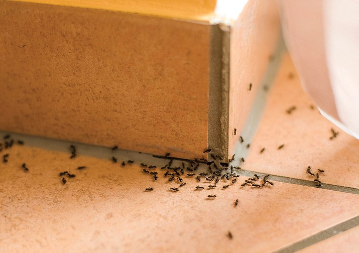Ants are a nuisance that become more active as the weather warms. (Metro Creative Services)