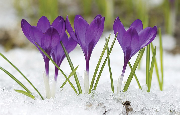 Crocus blooms are some of the first seen in early spring. (Courtesy)