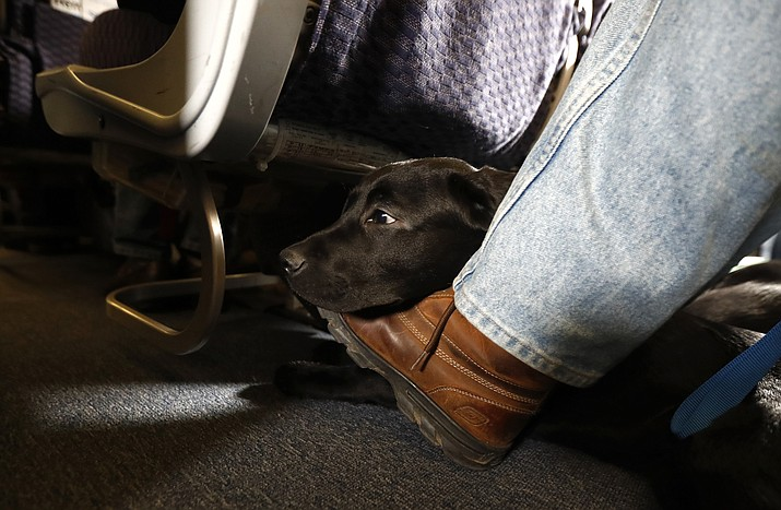 In this Saturday, April 1, 2017, file photo, a service dog named Orlando rests on the foot of its trainer, John Reddan, while sitting inside a United Airlines plane at Newark Liberty International Airport during a training exercise, in Newark, N.J. United Airlines wants to see more paperwork before passengers fly with an emotional-support animal. United says the changes won't affect owners of legitimate service animals with special training. (AP Photo/Julio Cortez, File)