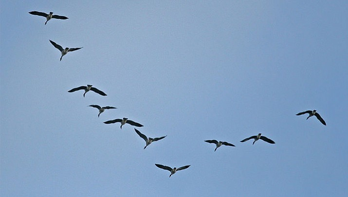 Canada Geese flying in a V-shaped formation. (John Benson)