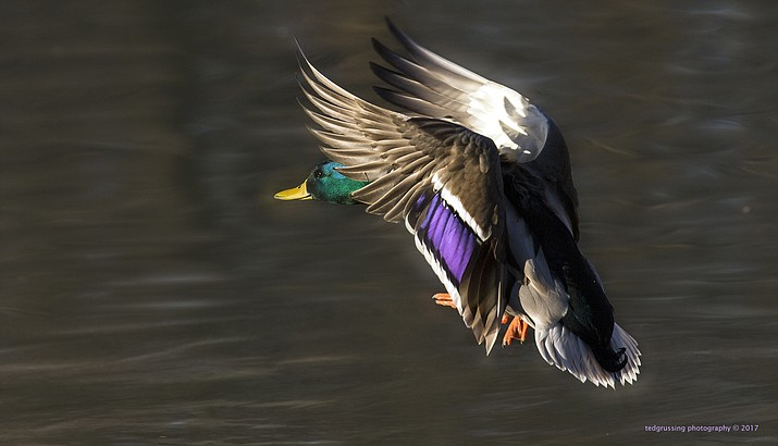 "Ted Grussing will present ""Sedona Wildlife Photography"" at the next Living History speaker series at the Sedona Heritage Museum. Shown here is his photo of a Drake Mallard preparing for landing."
