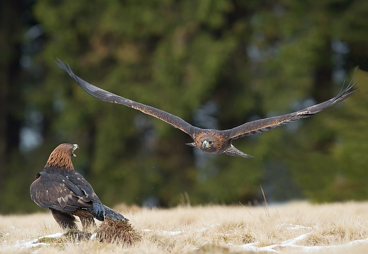 Researchers are studying the habits of the golden eagle on the Babbitt Ranches.