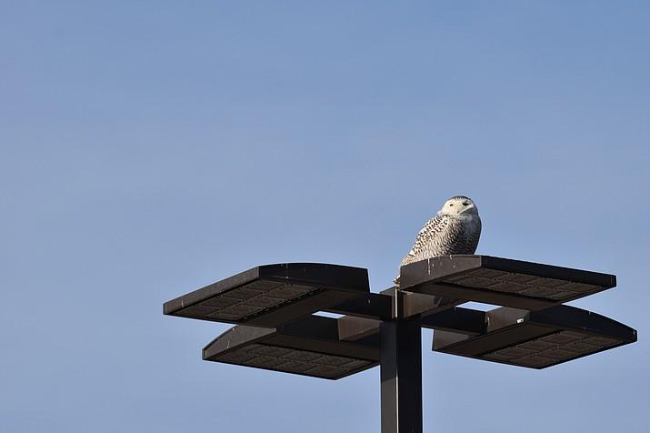 Snowy owl in Odessa Texas. (Courtesy)