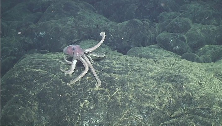 In this 2015 image provided by the Woods Hole Oceanographic Institution, a deep-sea octopus explores new lava flows that erupted at the Axial Seamount 480 kilometers (300 miles) west of Oregon. At the time, this was probably the youngest seafloor on the planet. (Bill Chadwick/Oregon State University, ROV Jason, Woods Hole Oceanographic Institution)