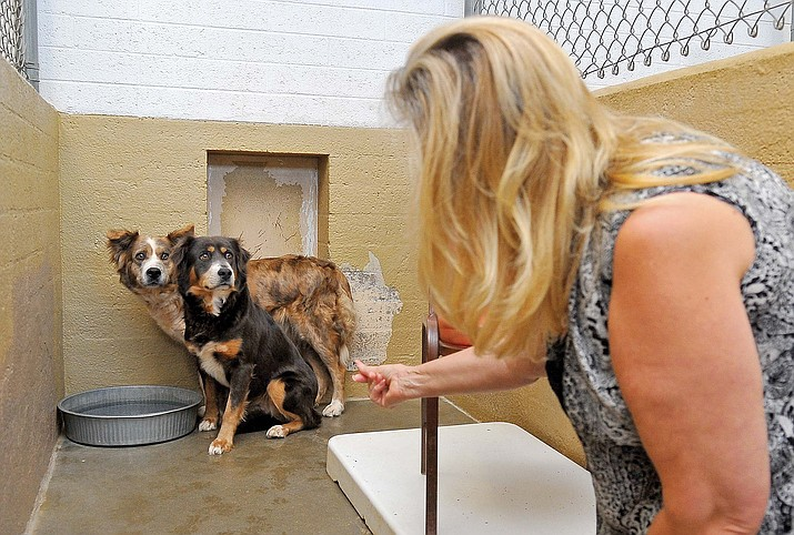 Yavapai Humane Society volunteer Rebecca Peasley works with Aspen and Willow, two Australian Shepherds, on interacting with people. Willow and Aspen are two of the 40 dogs that were removed from a home in Seligman in an animal cruelty case in 2010. The state is currently looking to toughen up animal cruelty laws. (Courier file photo)