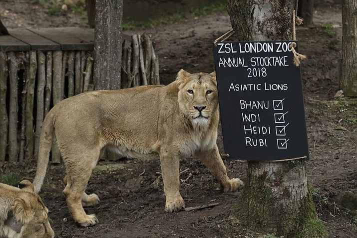 A lioness stands next to a sign placed in their in enclosure during a photocall to publicise the annual stock-take at London Zoo in London, Wednesday, Feb. 7, 2018. (AP Photo/Matt Dunham)