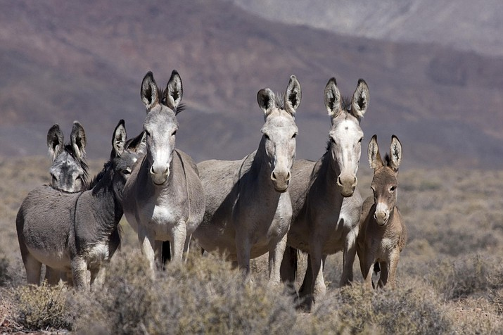 According to Marybeth Devlin, the burro immunocontraceptive may not work as the BLM predicts.