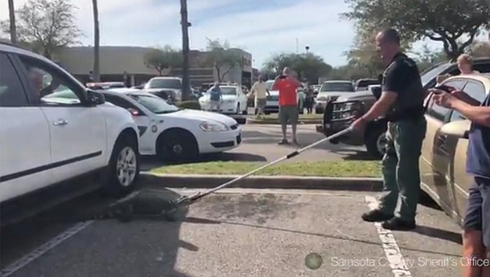 Sarasota County Sheriff's deputies pulled a 4-foot gator from under a vehicle in a parking lot. Sarasota County Sheriff's Office