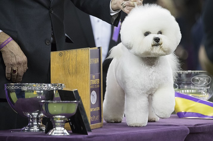 Flynn, a bichon frise, poses for photos after winning best in show during the 142nd Westminster Kennel Club Dog Show, Wednesday, Feb. 14, 2018, at Madison Square Garden in New York. (AP Photo/Mary Altaffer)