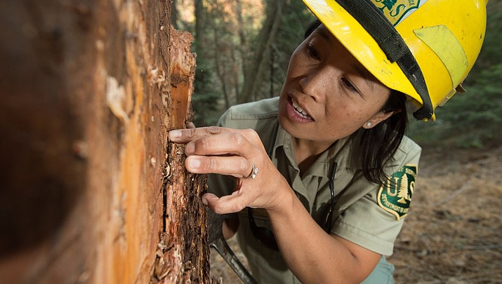For trees' sake: Forest Service tackles bark beetle problem