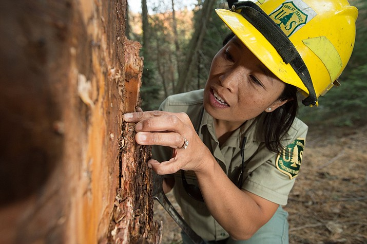 A forest service ranger inspects tree bark for traces of bark beetles. (Photo/USFS)