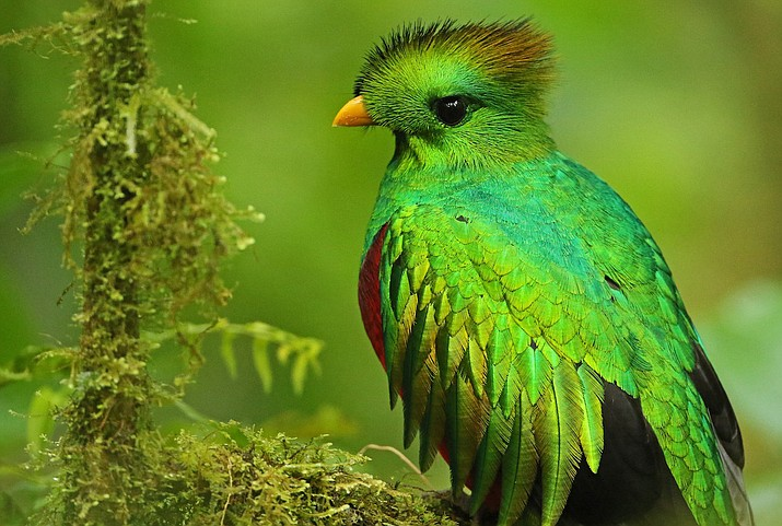 Resplendent Quetzal — Pharomachrus mocinno — photographed March 20, 2017, by Luke Seitz, in the Monteverde Cloud Forest, Puntarenas, Costa Rica. (Cornell University/Courtesy)