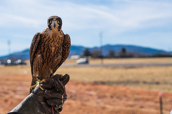 Sully, a young Barbary falcon, gets its name from its place of origin in Africa. (Daria Kadovik/Cronkite News)