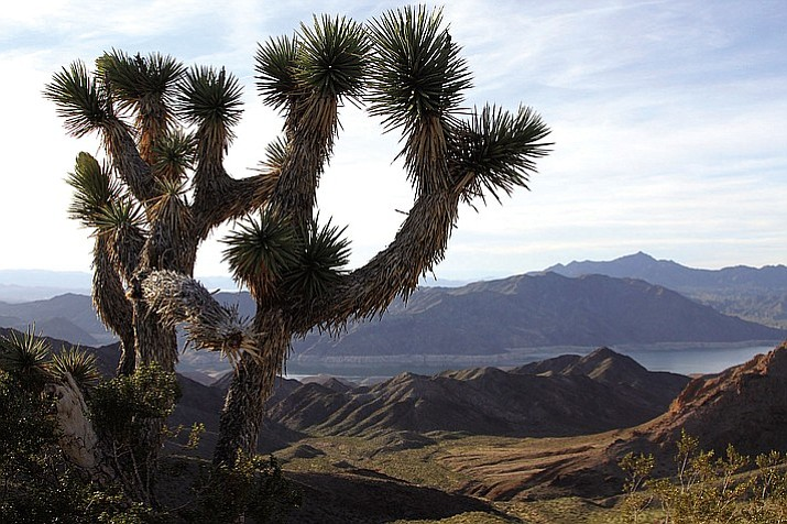A Joshua tree stands guard over a vista in Lake Mead National Recreation Area just north of Meadview.