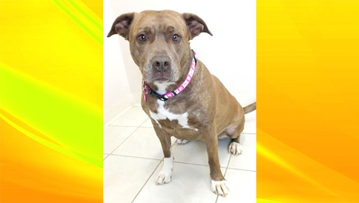 Mackie Marie is a female adult Pit Bull Terrier Mix who about 7 years old.