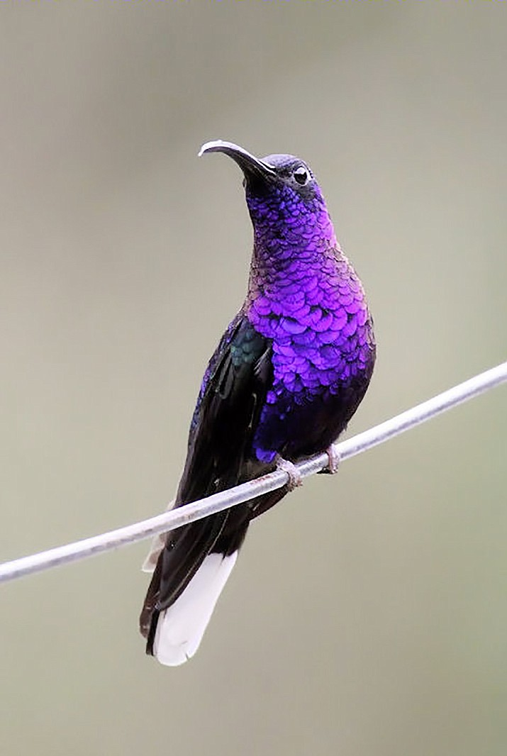 The Violet Sabrewing is one of 29 different hummingbirds Eric Moore spotted on his trip to Costa Rica, and is the one that impressed him most.