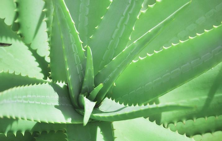 Medicinal herbal aloe vera plant